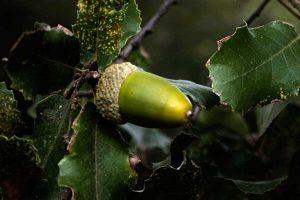 Micorrizada Quercus Ilex